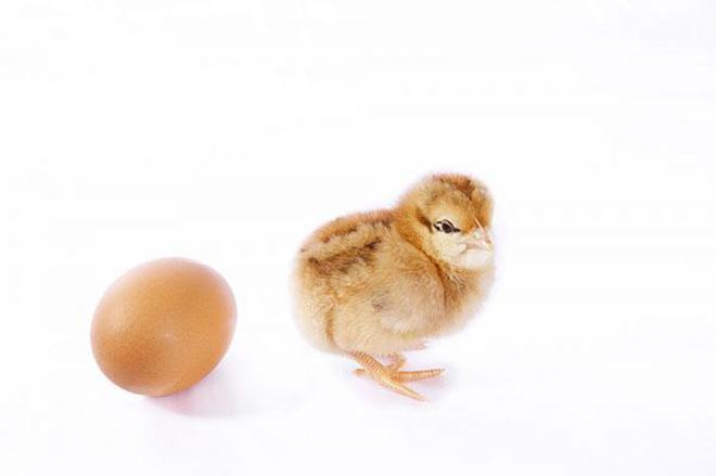 Mi volt előbb? A tyúk vagy a tojás?